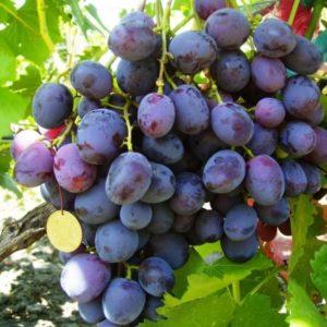 Виноград сорта Армани