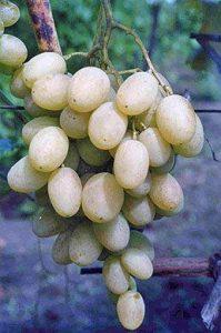 Виноград сорта Иринка