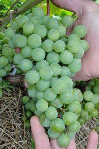 Виноград сорта Супага