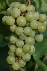 Виноград сорта Юбилейный Новгорода