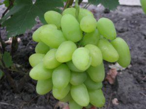Виноград сорта Алёша Попович