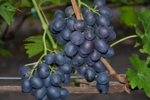 Сорт винограда Полинка( кишмиш)
