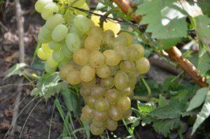 Виноград сорта Сказочный