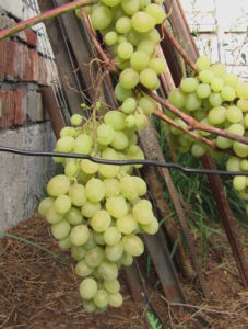 Виноград сорта Камилла