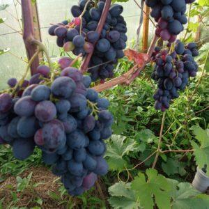 Виноград сорта Черный сверхранний
