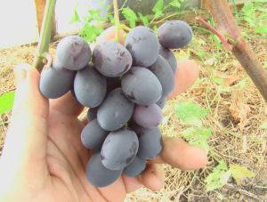 Виноград сорта Вернисаж