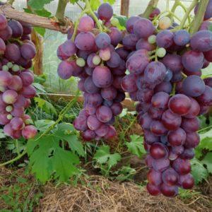 Виноград сорта Катюша