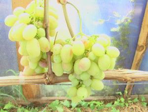 Виноград сорта Модница