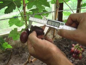 Сорт винограда Алвика
