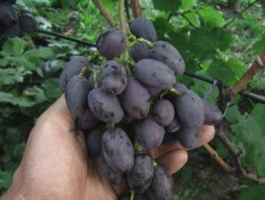 Виноград сорта Бруно