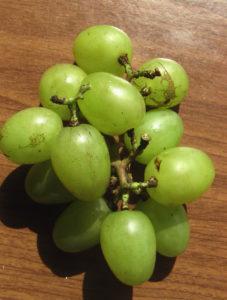 Виноград сорта Мускат Диевский