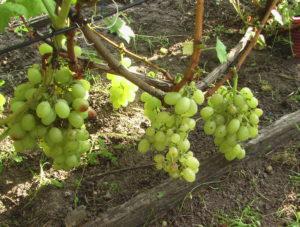 Сорт винограда Белоснежка