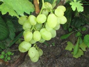Виноград сорта Ермак