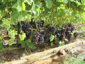 Виноград сорта Надежда Азос