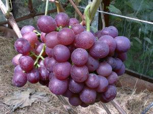 Виноград сорта Альянс