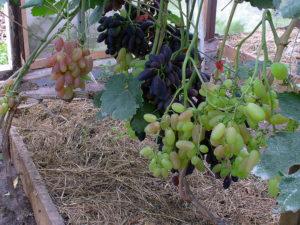 Виноград сорта Анжелика