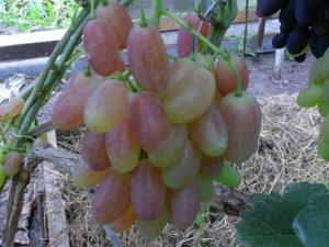 Виноград сорта Ксения (Анжелика)