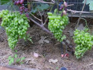 Сорт винограда Гелиодор