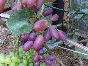 Виноград сорта Ливи-Ультра