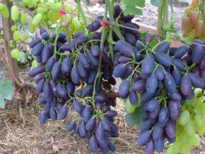 Сорт винограда Памяти Дженеева