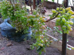 Виноград сорта Хамелеон