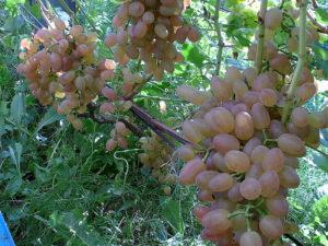 Виноград сорта Дашенька