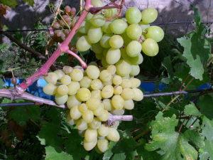 Виноград сорта Валёк