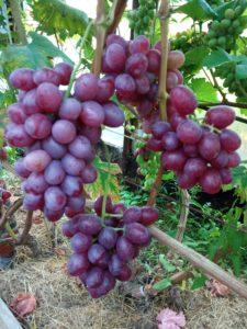 Виноград сорта Валерия