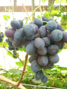Виноград сорта Дозор