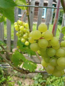 Виноград сорта Платовский