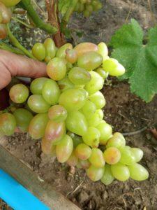 Виноград сорта Роза раняя
