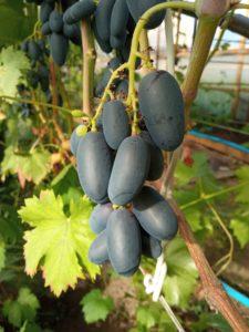 Виноград сорта Чёрная изюминка