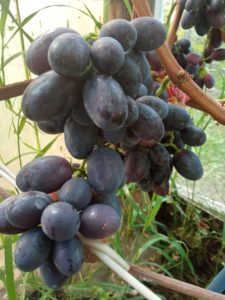 Сорт винограда Центрурион ( Бомба)