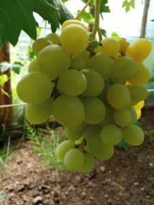 Сорт винограда Гуливер