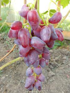 Сорт винограда Дубовский розовый
