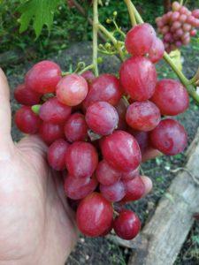 Сорт винограда Дынька