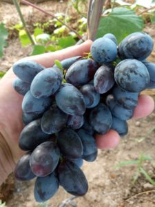 Виноград сорта Натали