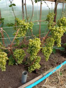 Виноград сорта Николь