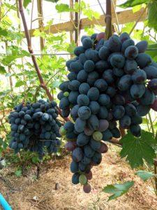 Виноград сорта Новичёк