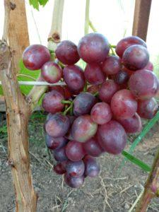 Сорт винограда Ромина
