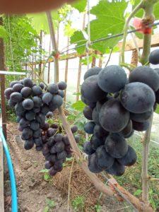 Виноград сорта Чёрное облако