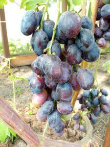 Сорт винограда Шикарный