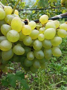 Сорт винограда Елизаветта